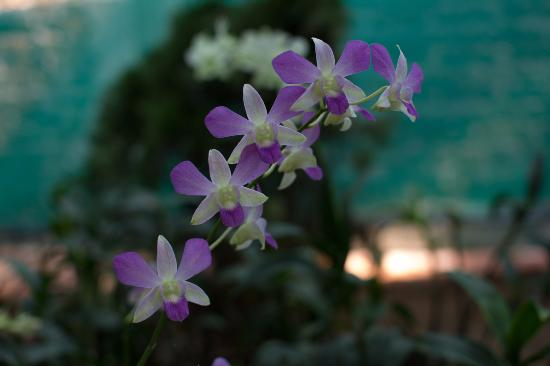 Kaziranga National Park, Indien: An orchid in the Orchid Garden Green house