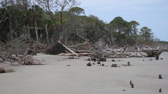 Hunting Island State Park: Beautiful downed trees from storm