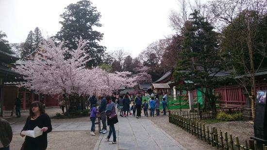 Shiogama, Japonia: 今年もお花見に塩竃神社を訪問。  ソメイヨシノ以外の桜もたくさんあり、鮮やかな色合いでした。  駐車場はかなりの混雑でした。