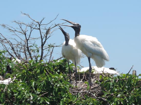 Wakodahatchee Wetlands: A few nesting birds.