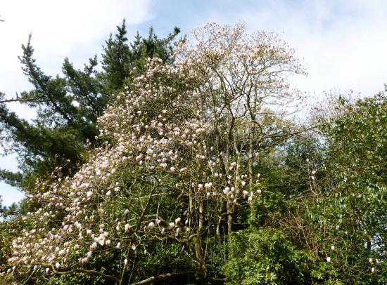 Haywards Heath, UK: Magnolia Tree