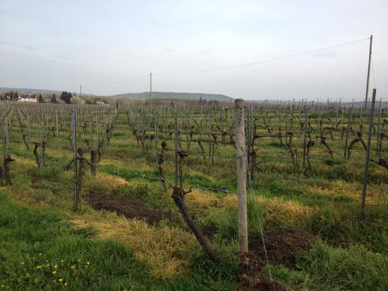 Oestrich-Winkel, Alemania: Die Weinfelder draussen