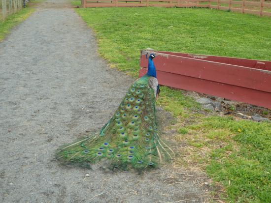 Leesburg, VA: Peacock