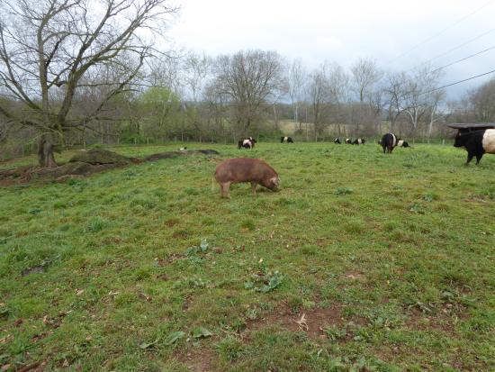 Leesburg, VA: Massive Pig