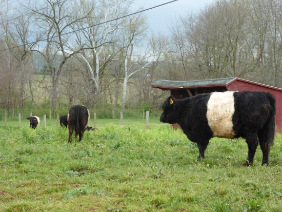 Leesburg, VA: Cows