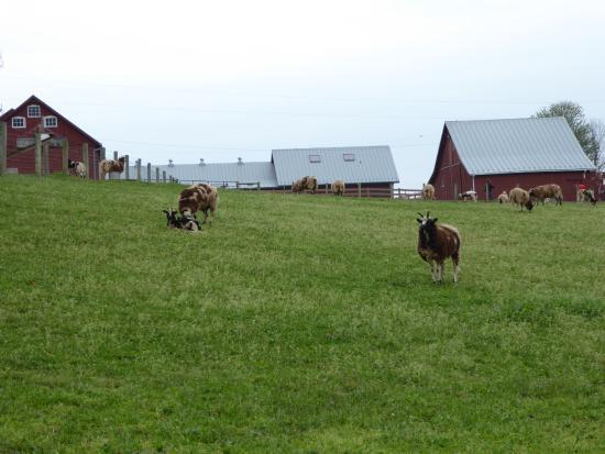 Leesburg, VA: Sheep