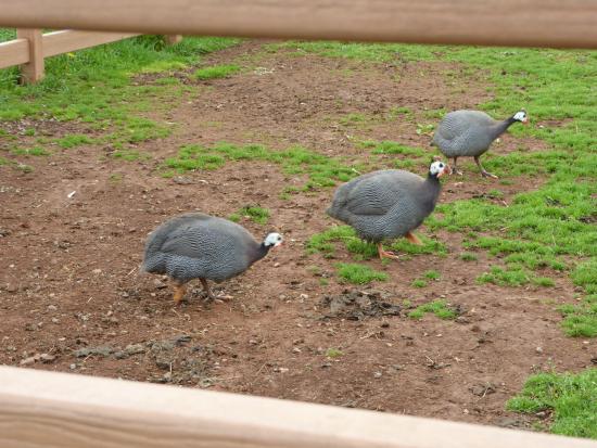Leesburg, VA: Hens