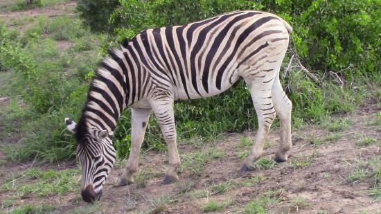 Durban Day Safaris: Beautiful zebra