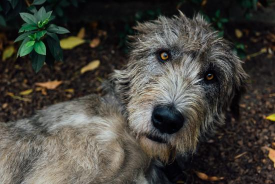 Old Thatch Lodge: One of Karin's beautiful Irish wolfhounds.