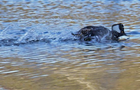 Richfield, MN: hooded merganser in a hurry
