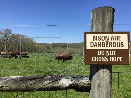 bison herd picture of big bone lick state historic site union rh tripadvisor com