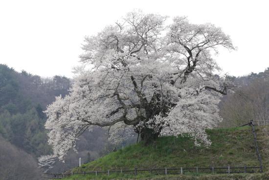 Hocchi no Higan Cherry Blossoms