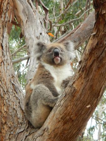 Koala, Hanson Bay Wildlife Sanctuary