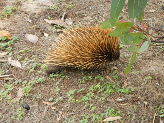 Echidna, Hanson Bay Wildlife Sanctuary