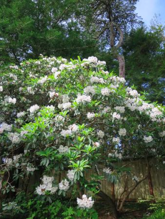 Inverness Secret Garden Cottage: Blooming rhododendron in the garden