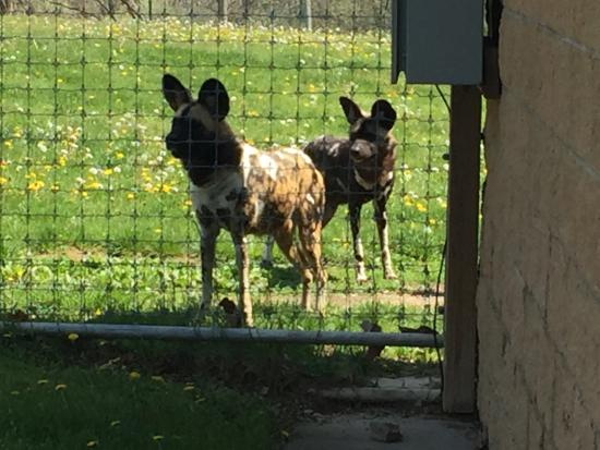 Cumberland, OH: African Painted Dogs - colors were beautiful. Got to see them get fed.