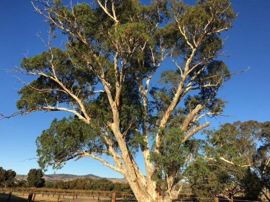 Rowland Flat, Australia: A magnificent gum tree