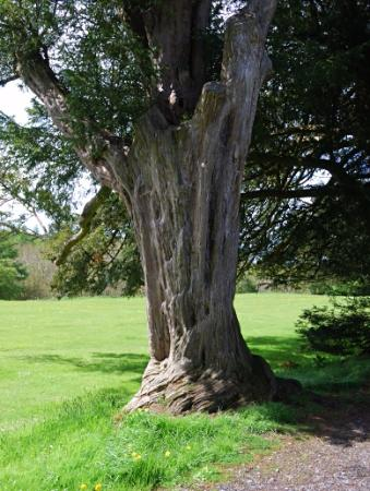Oldcastle, Irlanda: a very old yew in the garden