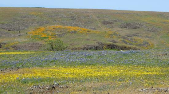 Wildflowers North Table Mountain, Oroville, CA