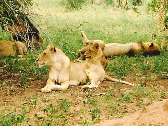 Leopard Hills Private Game Reserve, Sudáfrica: Lazy lion pride!