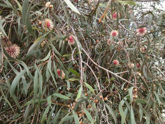 Cape Jervis, Australia: local flora