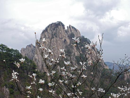 Magnolias in bloom on the Yellow Mt - Picture of China ...