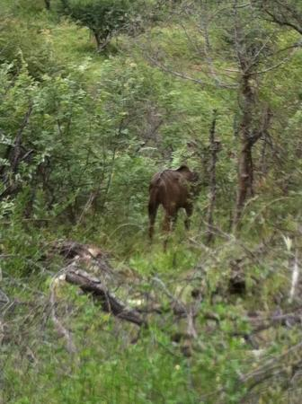 Balule Private Game Reserve, Sudáfrica: Safari