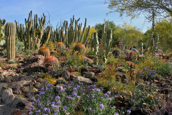 Arizona Sonora Desert Museum: Cactus Garden In Bloom