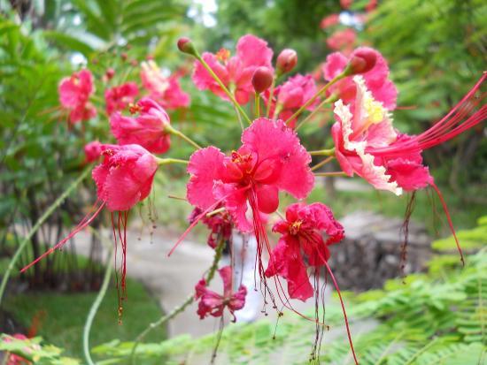 Saint-Gilles-Les-Bains, Reunión: Jardin d'Eden - Fleur (sans doute un hibiscus)