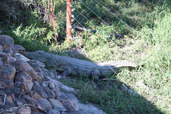 مسكن تاو جيم: Crocodile near dining area - don't worry fences ensured he stayed within area of waterhole.