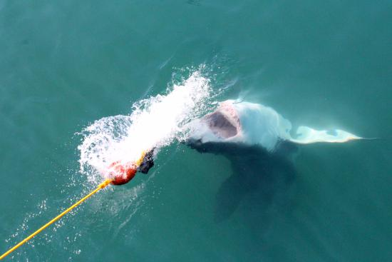 Gansbaai, Güney Afrika: Shark coming up for the bait