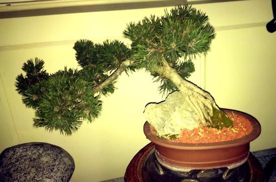 Burien, WA: bonsai