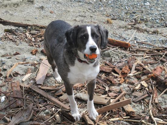 Gibsons, Canada: Cutest Most Well Behaved and Trained Dog Ever - Dash