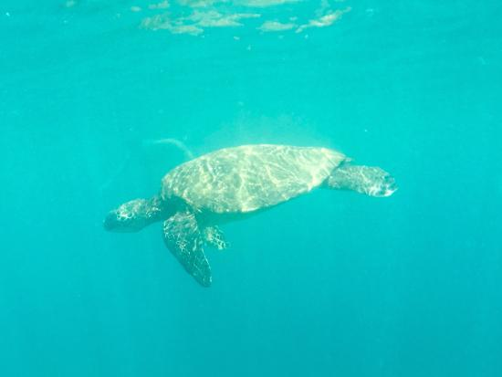 Malama Ke Kai - Reef Guides Hawaii: Green Sea Turtle - Copyright Dawn DeBlaze