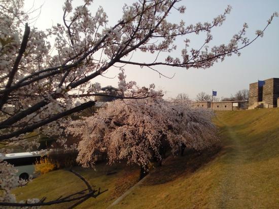 Suwon, Corea del Sur: ซากุระใกล้ๆ กำแพง
