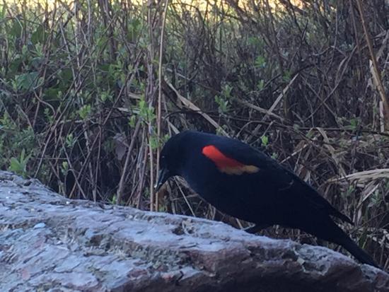Sechelt, Kanada: Red Wing Black Bird