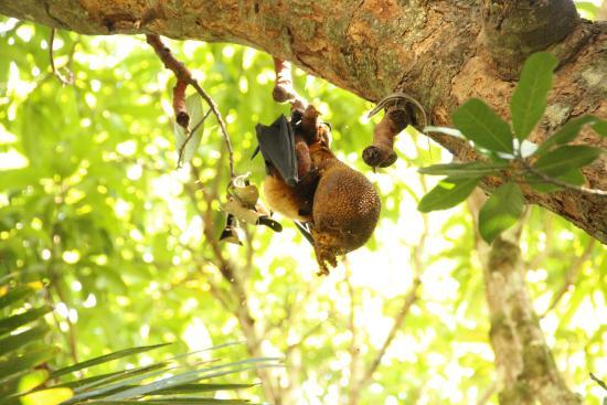 Praslin, Seychellerna: ジャックフルーツを食べるコウモリ