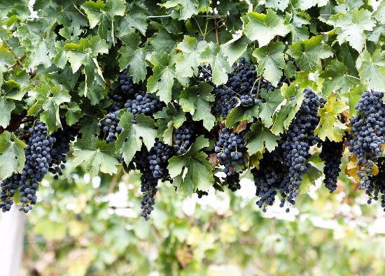 Da Baffo: Grapes