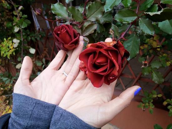 Vecses, Hungría: Розы в декабре