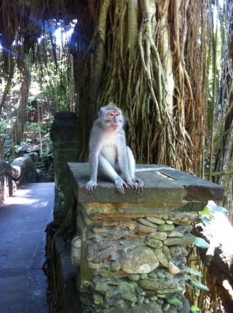 Mengwi, Indonesië: Bali monkey
