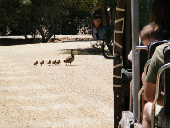 Litchfield Park, AZ: Wildlife World Zoo and Aquarium - why did the duck family cross the road