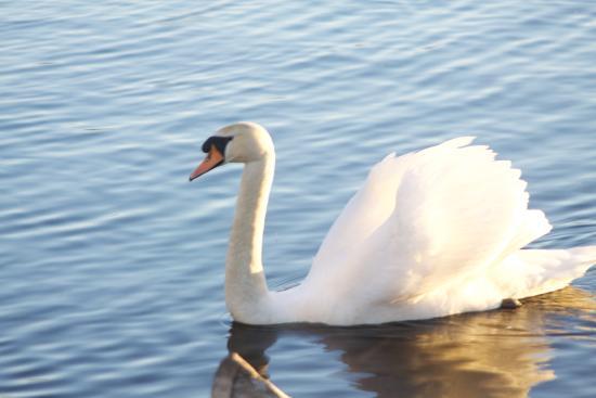 Pennington Flash Country Park: Swan Lake