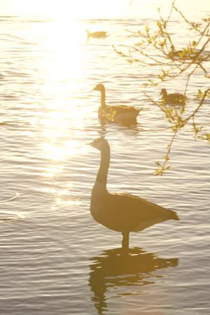 Pennington Flash Country Park: Lining up the ducks