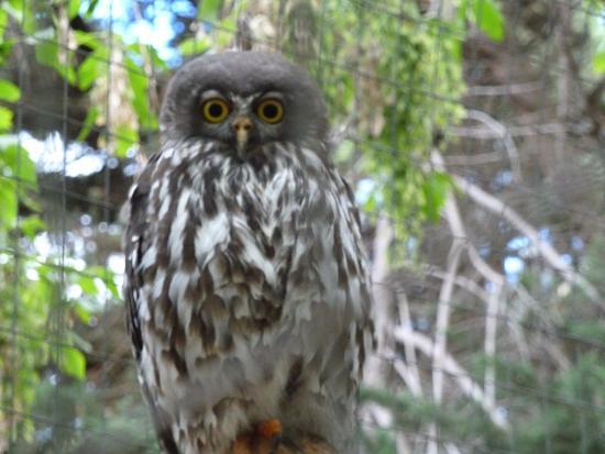 Cowes, Australia: The Barking Owl.