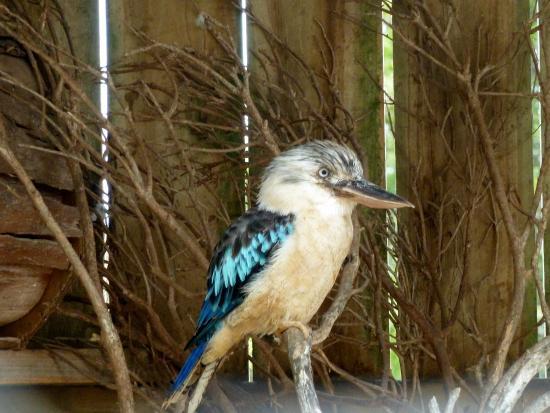 Cowes, Australia: Isn't he lovely The Kookaburra.