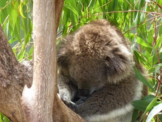 Cowes, Australia: So cuddly but fast asleep.
