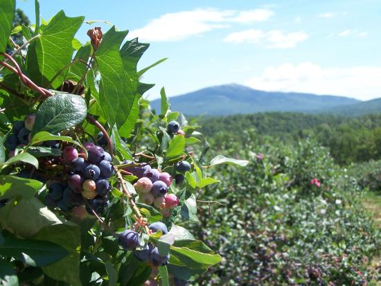 Troy, NH: Blueberries ripen on the bushes as Mt Monadnock rises in the background