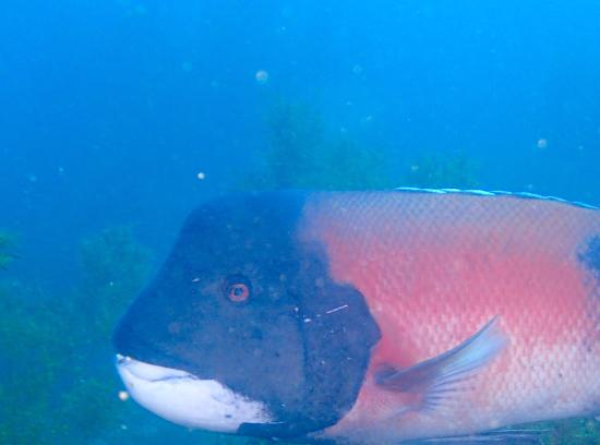Dive Catalina : Giant Sheephead happy to be in the Casino Dive Park.