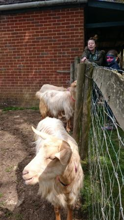 Oasis Down to Earth Farm: Golden Guinea Goats (3G's)
