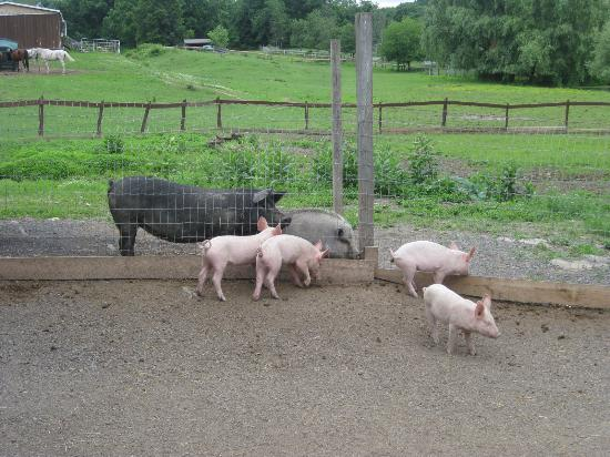 Saugerties, NY: Pot-bellied pigs greeting newly arrived piglets.
